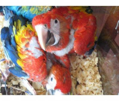 Scarlet macaws Parrot Babies and Pairs for sale